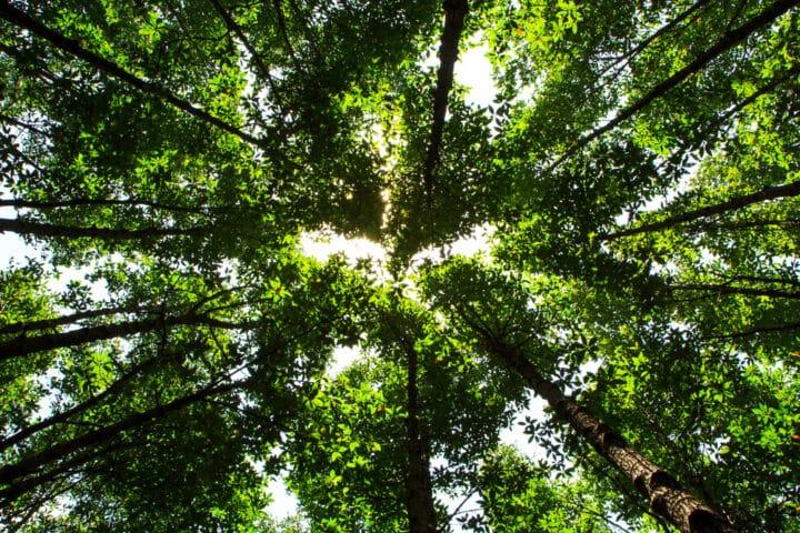 arbres vus d'en bas dans une forêt